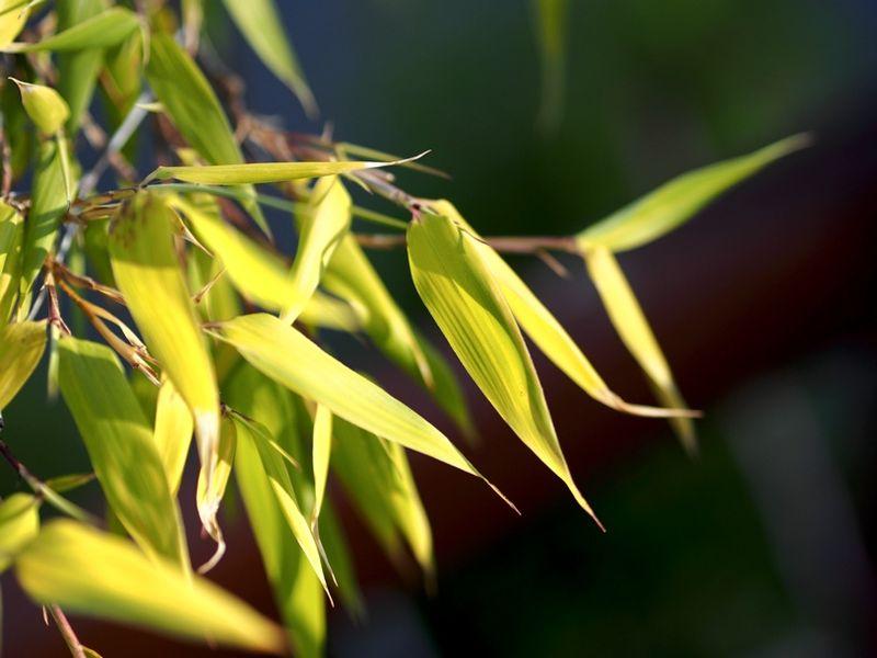 Bamboo01A