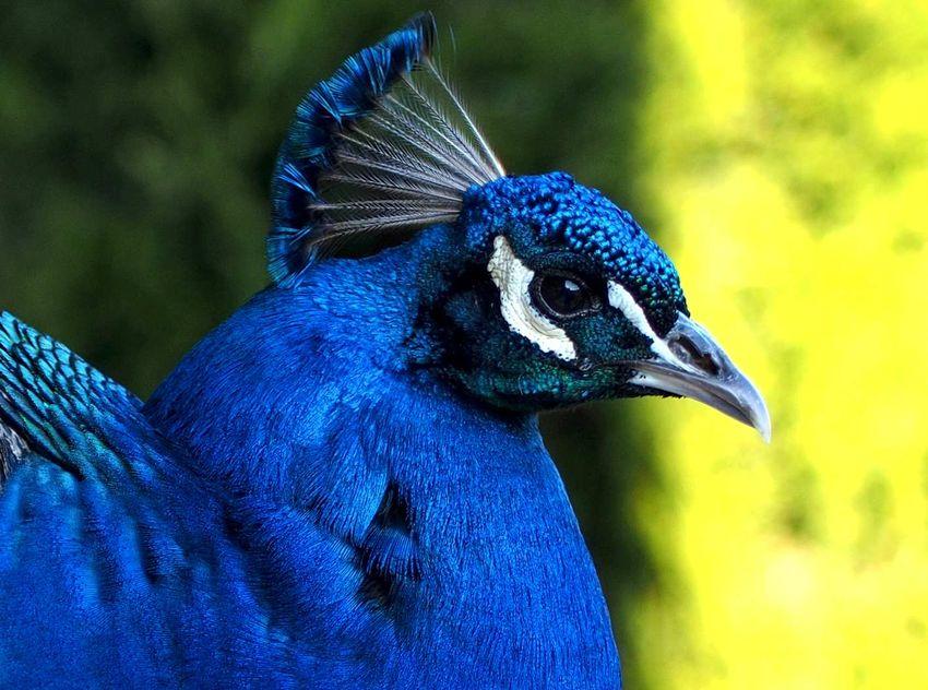 Peacock03