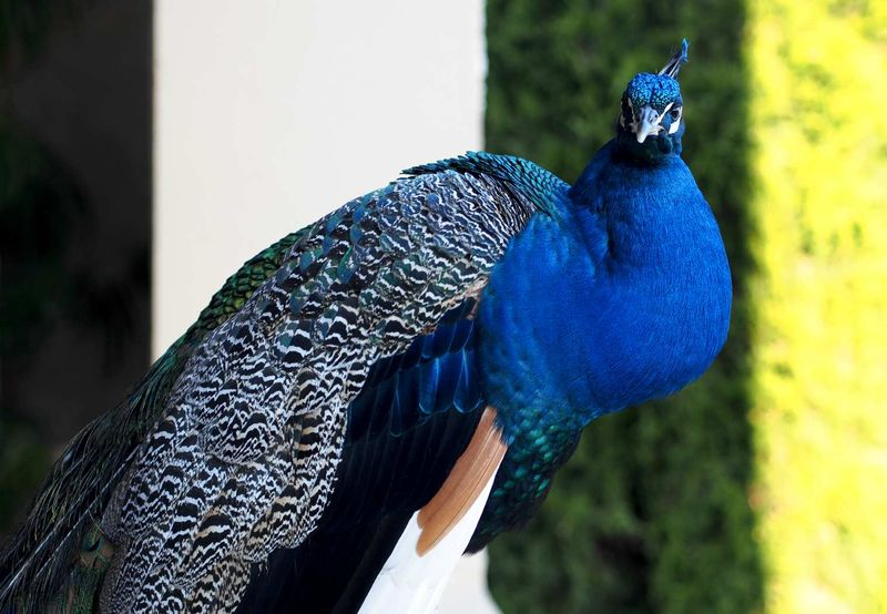 Peacock01