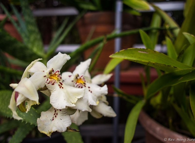 Orchids02