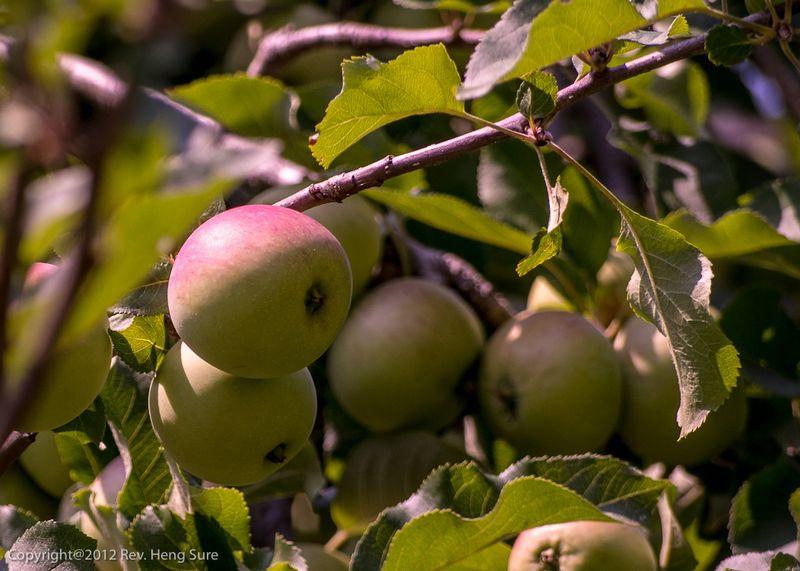 Apple-Tree01