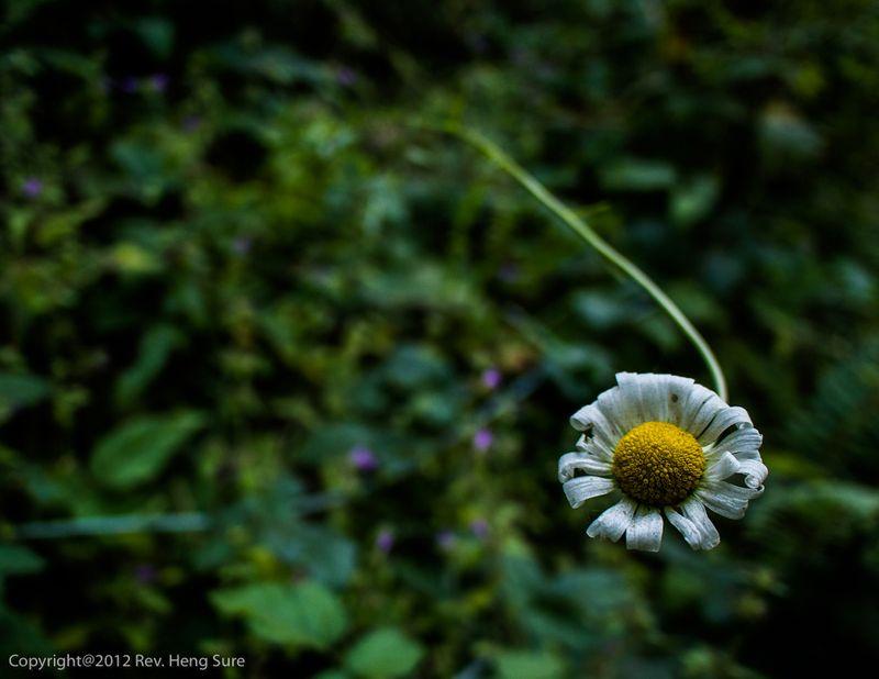 Daisy01a
