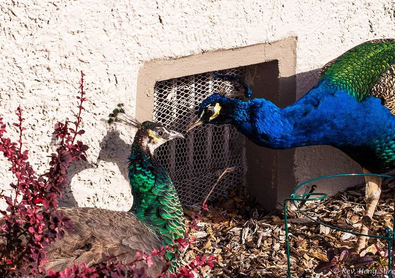 Peacock-Pair