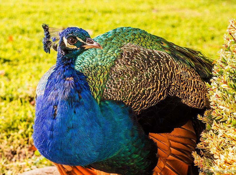 Curious-Peacock