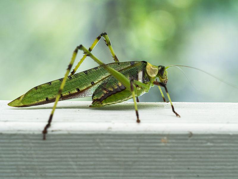Grasshopper02_001