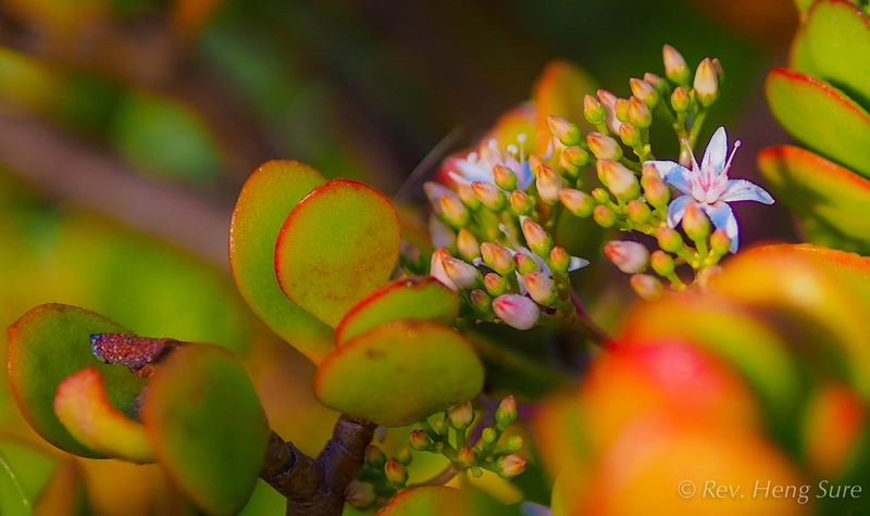 Succulent blossoms (1 of 1)