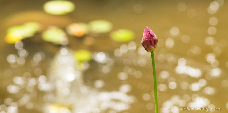 Lotus-on-Stem