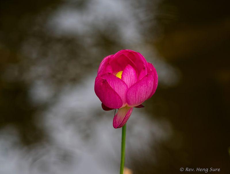 Tall-Lotus.01