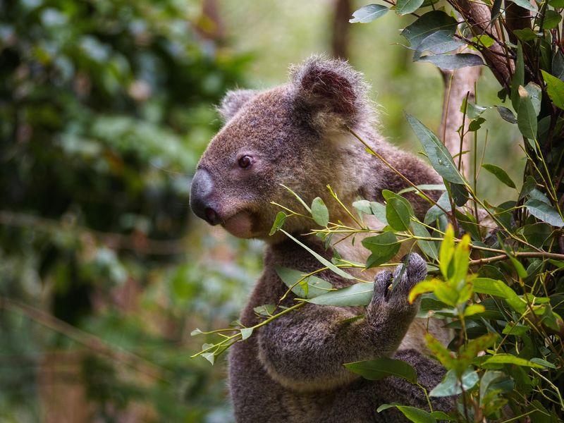 Koala.01