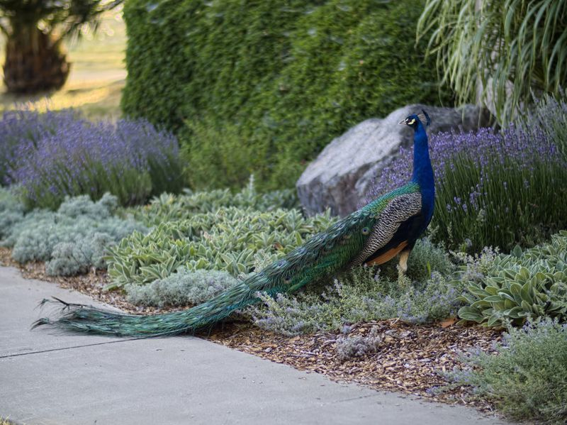 Peacock.01 copy