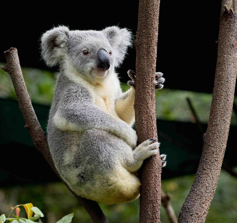 Koala Sitting.02
