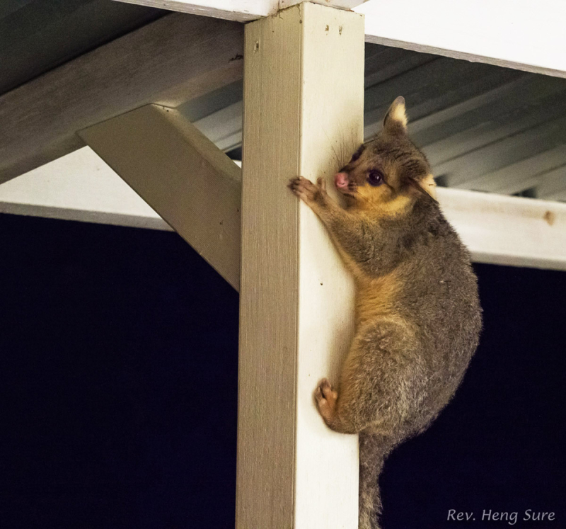 Possum-on-Pole.01
