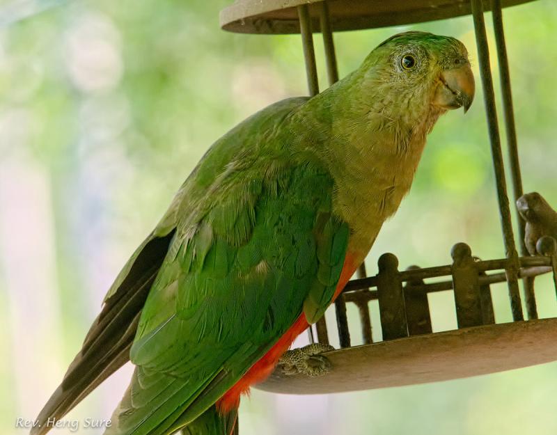 King-Parrot.03