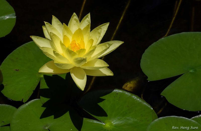 Yellow-Lotus.03