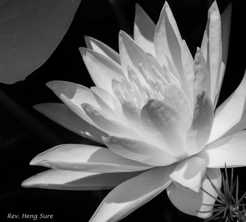 Yellow-Lotus.B&W.06