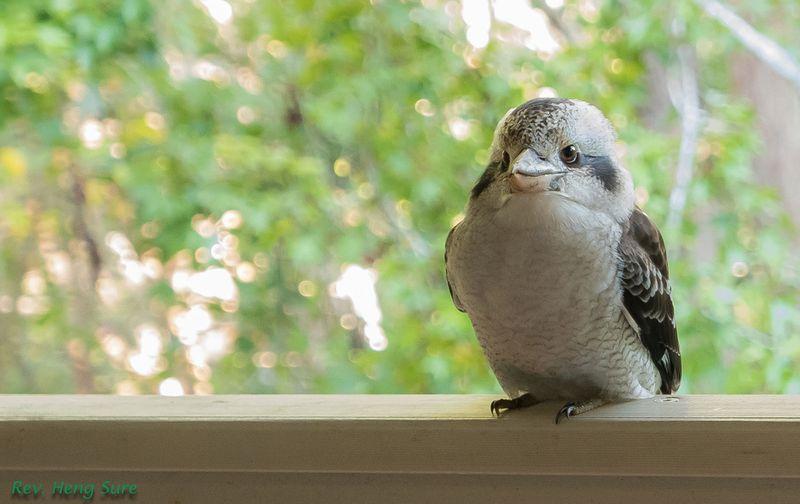 Kapok-Kookaburra.09