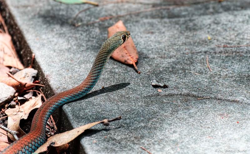 Whip-Snake.06