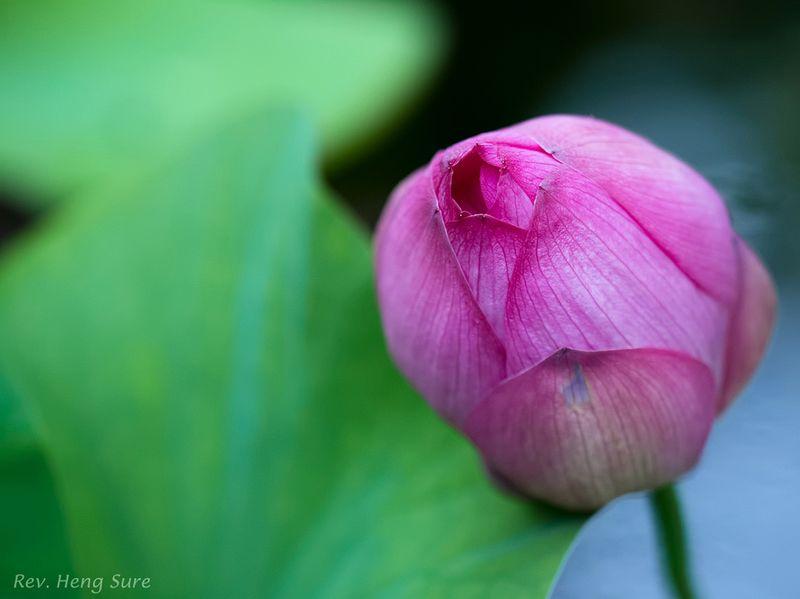 Pink-Lotus.08