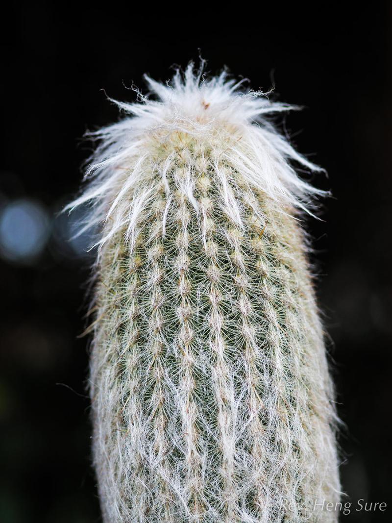 Succulent-Buds.02