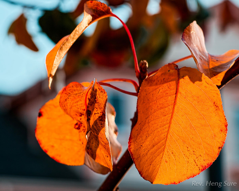 Gold-Leaves.03