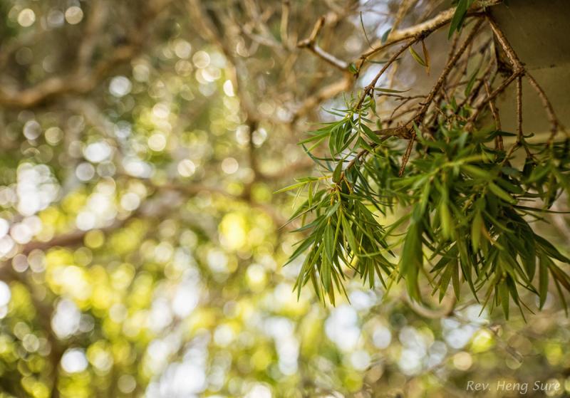 Tea-Tree-Leaves.02