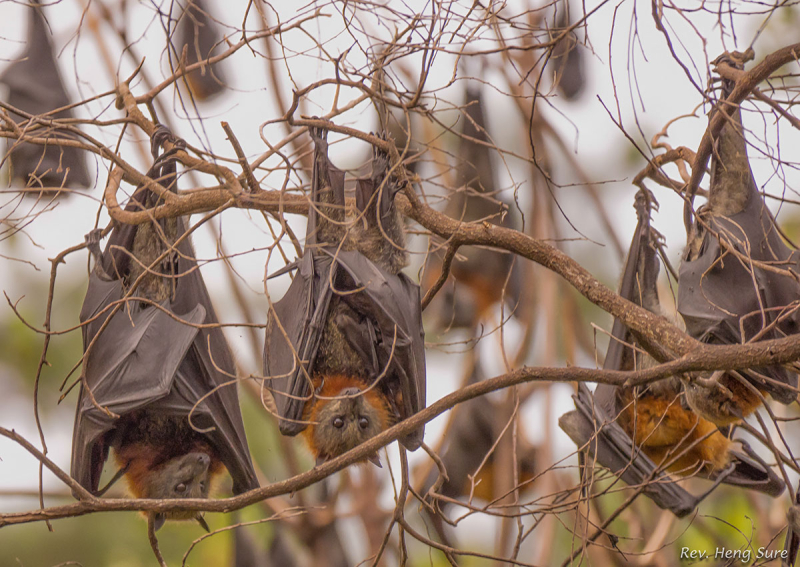 Flying-Foxes.07