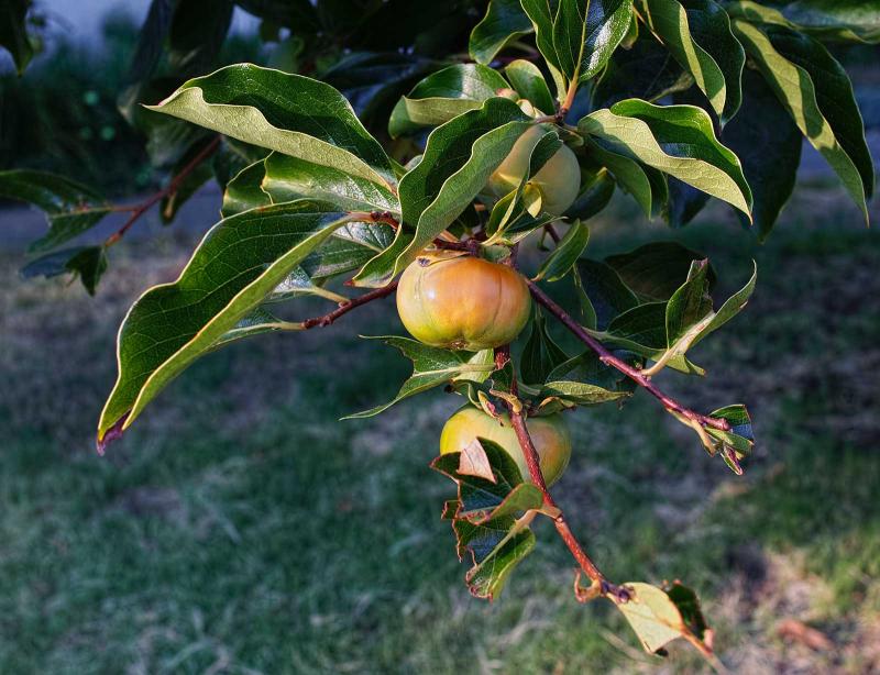 Black-Walnut-Tree.04